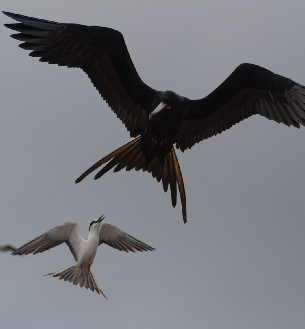 Ascension frigatebird and sooty tern - AIGCFD