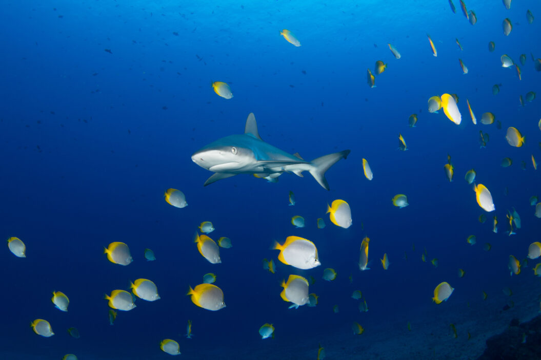 Galapagos shark and St Helena Butterflyfish - Jude Brown